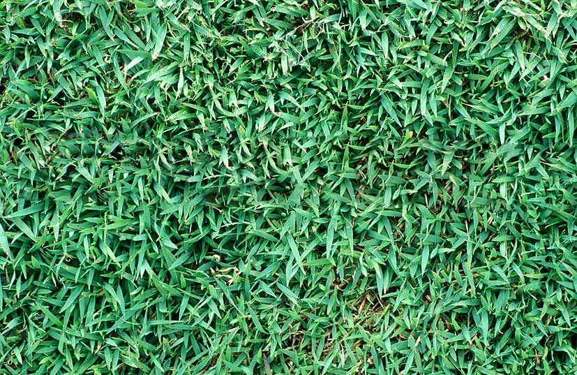 Queensland Blue Couch Suncoast Turf Supplies
